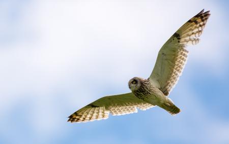 Short-eared owl in flight with long wings