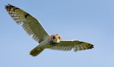 Short-eared owl in flight with spreaded wings