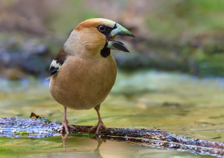 Male hawfinch crying on small branch in water pond