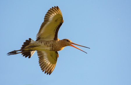 Black-tailed godwit flying to the sun and shouting loudly