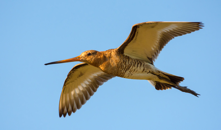 Close shot of Black-tailed godwit in flight 版權商用圖片