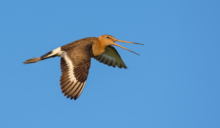 Black-tailed godwit sideview flying and loud shouting with lowered wings Imagens