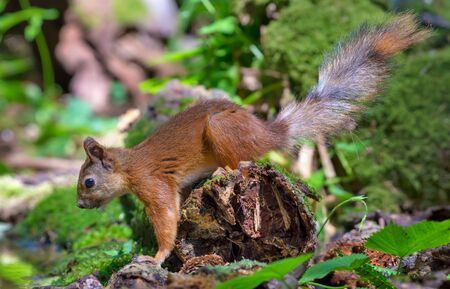 Red Squirrel sits on a mossy deadwood near a puddle in woods Stock Photo
