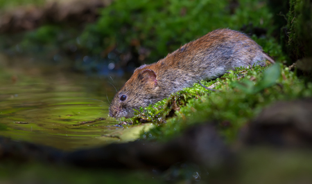 Thirsty Bank vole drinking water at the forest pond in good sweet light Stock Photo