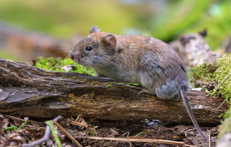 Bank vole posing on old deadwood branch in summer forest