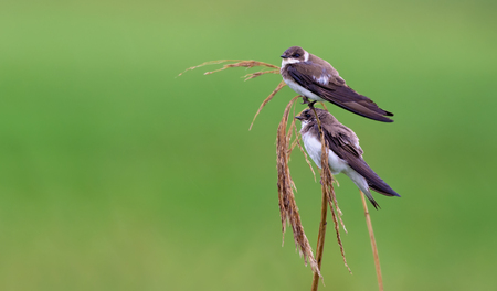 Pair of sand martins perched on a reed mace stems in late summer Stock Photo