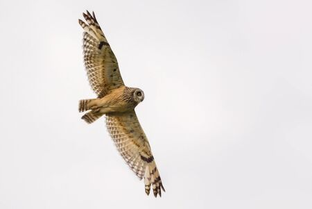 Short-eared owl flies by with the stretched wings