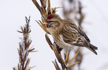 Common redpoll feeds on grass primrose seeds in snowy winter