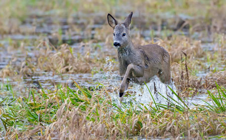 European roe deer jumps over water of a small river with a lot of splashes and drops