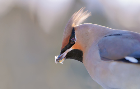 Bohemian waxwing close icy portrait