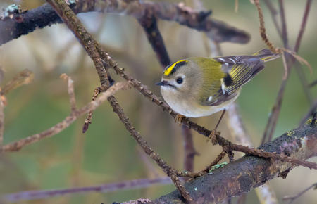 Small Goldcrest perched on a tiny dry stick in forest