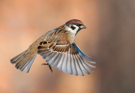 Baumsperling im Hochgeschwindigkeitsflug mit gestreckten Flügeln Standard-Bild