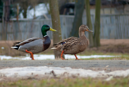 Male and female wild mallards together walk down street on pavement in spring winter