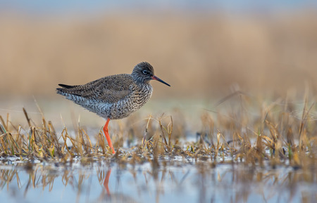 Common Redshank stands lonely on the shore in shallow waters