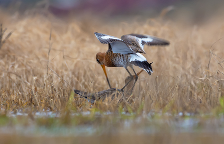 Black-tailed godwits in harsh fight in air and on the ground at spring in fields 写真素材