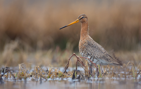 One Black-tailed godwit posing in swampy grass covered water pond with yellow and brown grass on its surface Reklamní fotografie