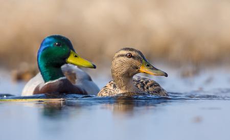 Pair of Male and female mallards in sync swimming with turned heads over some water pond in spring Reklamní fotografie