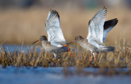 Family couple of common redshanks with elevated wings together walk in spring water pond with low grass