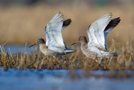 Male and female common redshanks with sync lifted wings walk through spring water pond with grass and plants