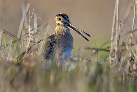 Common snipe sings with open beak in grass on the ground in early spring close photo shot