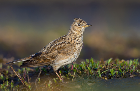 Male Eurasian skylark posing in grass and sand in early spring very close shot