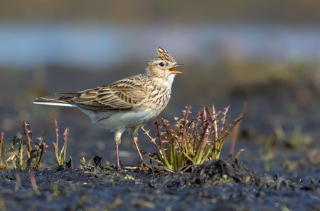 Male Eurasian skylark sings his loud song as he sits on the dirty and muddy ground