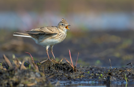 Male Eurasian skylark sings his spring song as he sits on the soil mount in field Stock Photo