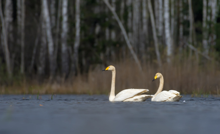 Scenic look at pair of whooper swans swimming close to each other with puffy feathers and plumage