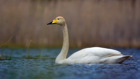 Bonito cisne cantor flota sobre la superficie del agua de color azul del gran lago en primavera