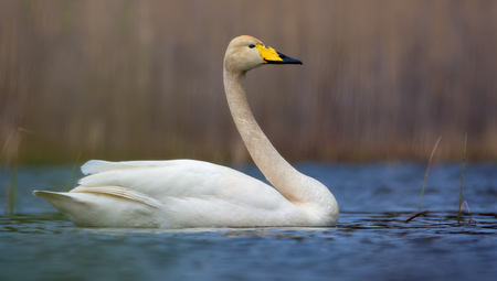 Bright sunny image of adult whooper swan swimming on blue colored water surface