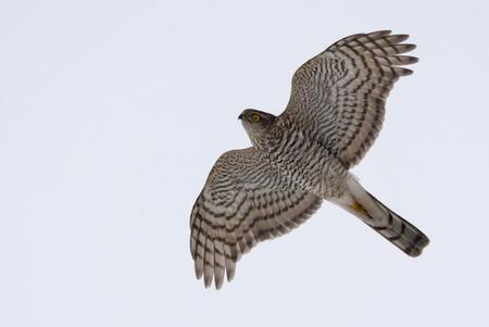 Eurasian sparrowhawk in flight in grey sky with lovely head turn