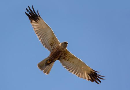 Adult Male Western Marsh harrier soars in flight high in blue sky with spreaded wings Standard-Bild - 122349581