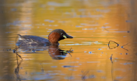 Adult Little Grebe swims on the water surface colored by great sunset light