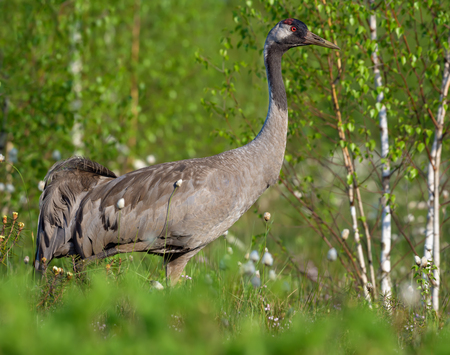 Close shot of Common Crane posing at green bog breeding habitat