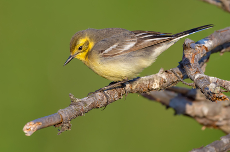 Sunny Female Citrine wagtail in breeding season walks on small branch with green clean background