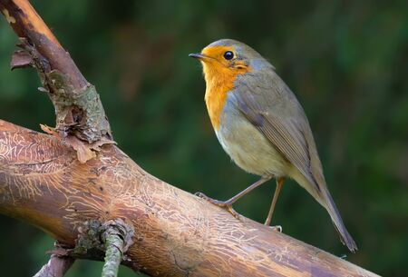 Adult European robin perched on nude pine branch 免版税图像