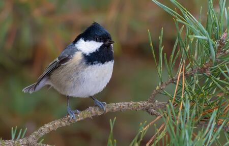 Coal Tit sits casually on small pine branch in winter forest