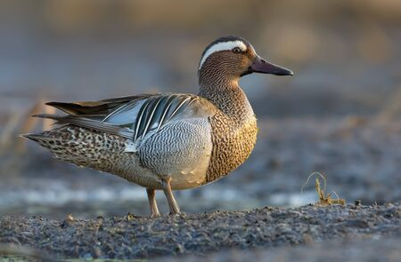 Male Garganey stands openly on muddy spring river shore in the morning light Imagens
