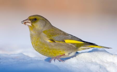 Vivid Male European Greenfinch stands in snow in bright sunny winter day