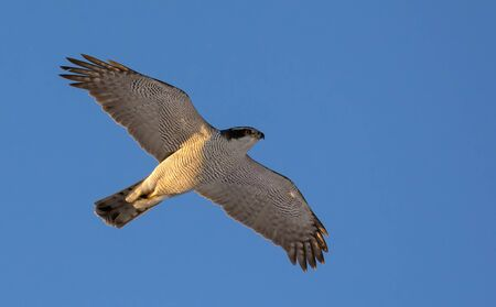 Adult northern goshawk in speedy flight in blue sky with full body and wings
