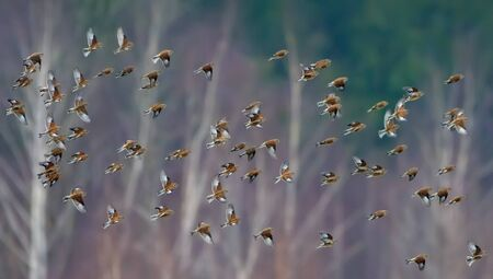Big quantity of common linnets flying together in flock over some trees as background in wintering time