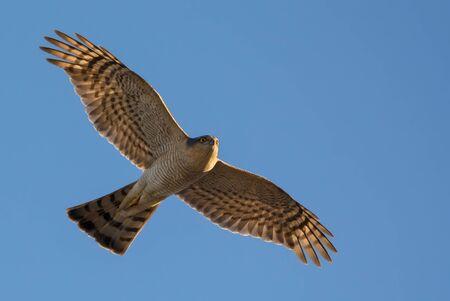 Male Eurasian sparrowhawk soaring in flight in blue sky with spreaded wings Stock fotó