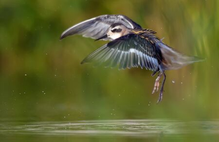 Young Red-necked phalarope takes off from green water in summer with clean lovely background Stock fotó