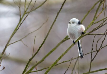 Long-tailed Tit perched on small willow bush branch in winter season
