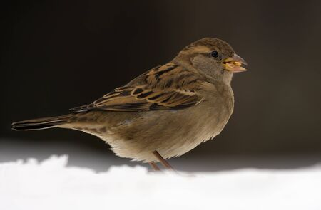 Female House sparrow posing in snow for a portrait in dull overcast winter day