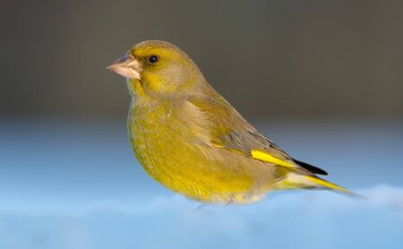 Adult male European Greenfinch sits in deep snow in sunny weather conditions