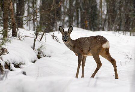 Female Roe deer gives a head turn towards camera in winter snowy forest Фото со стока
