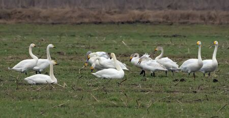 Mixed herd of different species of swans - tundra and whooper feeding and resting together on green field in spring