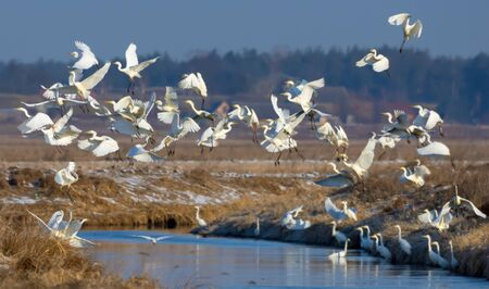 Big flock of great white egrets taking off from small river in spring