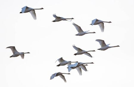 Big Flock of mute swans flying together in white sky